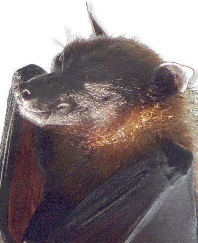 روباه پرنده هندی