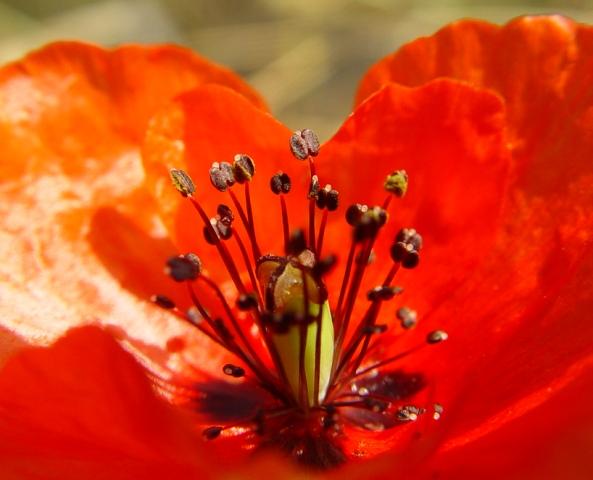 عکس+گل+شقایق